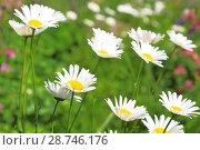 Купить «Floral background. Blossoming white daisies on a green field.», фото № 28746176, снято 16 июня 2018 г. (c) Светлана Евграфова / Фотобанк Лори