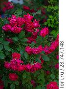 Купить «Rosa floribunda Diabloti», фото № 28747148, снято 9 июня 2018 г. (c) Марина Володько / Фотобанк Лори