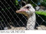 Купить «Голова страуса через сетку», эксклюзивное фото № 28747372, снято 3 июня 2018 г. (c) Игорь Низов / Фотобанк Лори