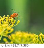Купить «Красный жучок сидит на жёлтых цветках», эксклюзивное фото № 28747380, снято 9 июля 2018 г. (c) Игорь Низов / Фотобанк Лори