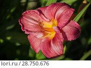 Купить «Red daylily hemerocallis», фото № 28750676, снято 12 июля 2018 г. (c) Юлия Бабкина / Фотобанк Лори