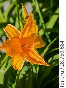 Купить «Orange daylily hemerocallis», фото № 28750684, снято 12 июля 2018 г. (c) Юлия Бабкина / Фотобанк Лори