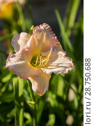 Купить «Pale pink daylily hemerocallis», фото № 28750688, снято 12 июля 2018 г. (c) Юлия Бабкина / Фотобанк Лори