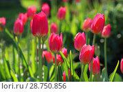 Купить «Красные тюльпаны», фото № 28750856, снято 1 июня 2018 г. (c) Григорий Писоцкий / Фотобанк Лори