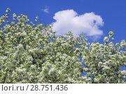 Купить «Обильно цветущая яблоня на фоне синего неба и белого облака», фото № 28751436, снято 7 июня 2018 г. (c) Григорий Писоцкий / Фотобанк Лори