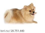 Купить «Lovely Pomeranian dog lying in a studio», фото № 28751440, снято 26 июня 2018 г. (c) Алексей Кузнецов / Фотобанк Лори