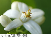 Купить «Orange blossom. Azahar. Citrus aurantiacus.», фото № 28754608, снято 21 мая 2018 г. (c) easy Fotostock / Фотобанк Лори