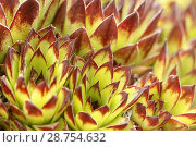 Купить «Hens and chicks. Sempervivum tectorum.», фото № 28754632, снято 10 мая 2018 г. (c) easy Fotostock / Фотобанк Лори