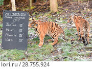 Купить «ZSL London carries out its annual stock take at London Zoo, Regents Park Featuring: Tigers, Achilles, Karis Where: London, United Kingdom When: 03 Jan 2017 Credit: Alan West/WENN.com», фото № 28755924, снято 3 января 2017 г. (c) age Fotostock / Фотобанк Лори