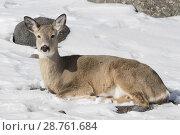 Купить «White-tailed Deer ( Odocoileus virginianus ) in winter, restin in snow, lying, ruminating, Yellowstone area, USA.», фото № 28761684, снято 30 января 2017 г. (c) age Fotostock / Фотобанк Лори