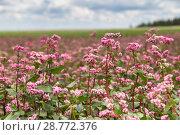 Купить «Цветение поля красной гречихи. Buckwheat (Fagopyrum esculentum) flowering», фото № 28772376, снято 4 июля 2018 г. (c) Ольга Сейфутдинова / Фотобанк Лори