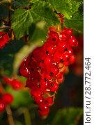 Купить «Bunch of red currant after rain, Tver Region, Russia», фото № 28772464, снято 13 июля 2018 г. (c) Игорь Овсянников / Фотобанк Лори