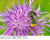Купить «A bumblebee collects nectar from a flower», фото № 28797712, снято 16 июля 2018 г. (c) Александр Клопков / Фотобанк Лори