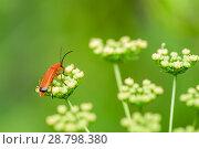 Купить «Красный жучок сидит на белых цветках на фоне зелени», фото № 28798380, снято 9 июля 2018 г. (c) Игорь Низов / Фотобанк Лори