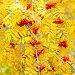 Купить «Bunches of ripe rowan.», фото № 28803760, снято 13 октября 2017 г. (c) Акиньшин Владимир / Фотобанк Лори