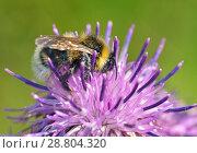 Купить «A bumblebee collects nectar from a flower.», фото № 28804320, снято 13 июля 2018 г. (c) Александр Клопков / Фотобанк Лори