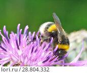 Купить «A bumblebee collects nectar from a flower.», фото № 28804332, снято 16 июля 2018 г. (c) Александр Клопков / Фотобанк Лори