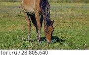 Horse grazing on green meadow. Стоковое видео, видеограф Дмитрий Рухмалев / Фотобанк Лори