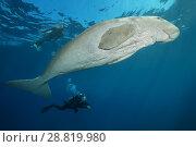 Купить «Female scubadiver looks at Dugong or Sea Cow (Dugong dugon) swims under surface of blue water», фото № 28819980, снято 24 июля 2018 г. (c) Некрасов Андрей / Фотобанк Лори