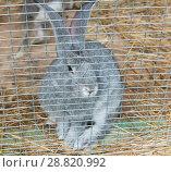 Купить «Грустный серый кролик сидит в клетке», фото № 28820992, снято 22 июля 2018 г. (c) Екатерина Овсянникова / Фотобанк Лори