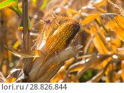 Купить «Ripened corn cob», фото № 28826844, снято 14 сентября 2017 г. (c) Яков Филимонов / Фотобанк Лори