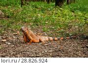 A big iguana. Стоковое фото, фотограф Наталья Двухимённая / Фотобанк Лори