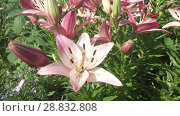 Купить «Beautiful garden lilies (Lilium) grow in garden stock footage video», видеоролик № 28832808, снято 21 июля 2018 г. (c) Юлия Машкова / Фотобанк Лори