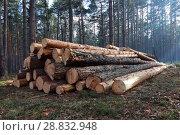 Купить «Штабель сосновых бревен в дымном лесу. Весна.», эксклюзивное фото № 28832948, снято 17 апреля 2017 г. (c) Анатолий Матвейчук / Фотобанк Лори
