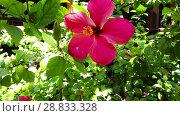 Купить «hibiscus flower at garden in french polynesia», видеоролик № 28833328, снято 1 июля 2018 г. (c) Syda Productions / Фотобанк Лори