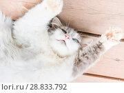 Купить «Серо-белая кошка лежит на деревянном полу, подняв лапы вверх», фото № 28833792, снято 22 июля 2018 г. (c) Екатерина Овсянникова / Фотобанк Лори