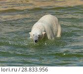 Купить «Polar bear in water. Finnish Lapland», фото № 28833956, снято 16 июля 2018 г. (c) Валерия Попова / Фотобанк Лори