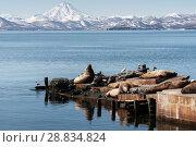 Лежбище сивучей на полуострове Камчатка. Стоковое фото, фотограф А. А. Пирагис / Фотобанк Лори