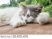 Купить «Серо-белая кошка спит на деревянном полу на фоне леса в летний день», фото № 28835476, снято 22 июля 2018 г. (c) Екатерина Овсянникова / Фотобанк Лори