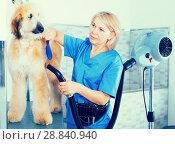 Купить «hairdresser professional dries hair by fen dog fur Afghan hound dog in hairdresser for animal», фото № 28840940, снято 17 октября 2017 г. (c) Татьяна Яцевич / Фотобанк Лори