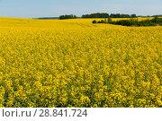 Купить «Flowering rape field with in the landscape in Poland», фото № 28841724, снято 13 мая 2018 г. (c) Яков Филимонов / Фотобанк Лори