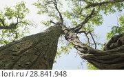 Купить «Incredible twisted tree in the rainforast of national park Chitwan, Nepal», видеоролик № 28841948, снято 18 июня 2018 г. (c) Dzmitry Astapkovich / Фотобанк Лори