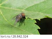 Купить «Муха домашняя или комнатная (лат. Musca domestica) - семейство настоящих мух (лат. Muscidae) на зеленом листе. Синантроп», фото № 28842324, снято 21 июня 2018 г. (c) Наталья Гармашева / Фотобанк Лори
