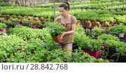 Купить «Young female gardener arranging peppermint in hothouse», фото № 28842768, снято 16 августа 2018 г. (c) Яков Филимонов / Фотобанк Лори