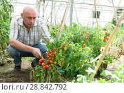 Купить «Professional gardener working with tomatoes in sunny greenhouse», фото № 28842792, снято 21 октября 2018 г. (c) Яков Филимонов / Фотобанк Лори