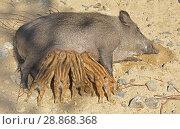 Central European wild boar (Sus scrofa scrofa) piglets suckling. Стоковое фото, фотограф Валерия Попова / Фотобанк Лори