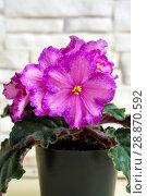 Купить «Beautiful flower Saintpaulia (Узамбарская Фиалка)», фото № 28870592, снято 21 февраля 2020 г. (c) ElenArt / Фотобанк Лори