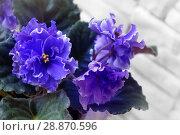 Купить «Beautiful flower Saintpaulia (Узамбарская Фиалка)», фото № 28870596, снято 21 февраля 2020 г. (c) ElenArt / Фотобанк Лори