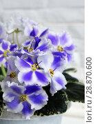 Купить «Beautiful flower Saintpaulia (Узамбарская Фиалка)», фото № 28870600, снято 21 февраля 2020 г. (c) ElenArt / Фотобанк Лори
