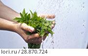 Купить «Water pouring on woman's hands with mint plant», видеоролик № 28870724, снято 19 июня 2018 г. (c) Илья Шаматура / Фотобанк Лори