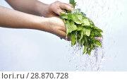 Купить «Woman's hands with mint plant», видеоролик № 28870728, снято 19 июня 2018 г. (c) Илья Шаматура / Фотобанк Лори
