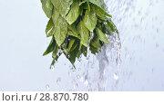 Купить «Mint herb under stream of water», видеоролик № 28870780, снято 19 июня 2018 г. (c) Илья Шаматура / Фотобанк Лори