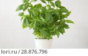Купить «green basil herb in pot on table», видеоролик № 28876796, снято 17 июля 2018 г. (c) Syda Productions / Фотобанк Лори