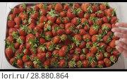 Купить «A woman's hands throw some strawberries on a tray with berries. Wet red ripe strawberry on a tray of steel with holes. Berries background. Slow motion video. Top view. Full HD video, 240fps, 1080p», видеоролик № 28880864, снято 29 июня 2018 г. (c) Ярослав Данильченко / Фотобанк Лори