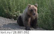 Купить «Камчатский бурый медведь», видеоролик № 28881092, снято 1 августа 2018 г. (c) А. А. Пирагис / Фотобанк Лори