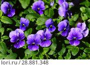 Купить «Виола, фиалка трехцветная, анютины глазки (лат. Viola tricolor)», эксклюзивное фото № 28881348, снято 26 мая 2016 г. (c) lana1501 / Фотобанк Лори